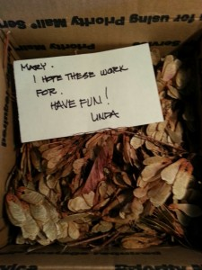 A boxful of samaras, or maple seeds.